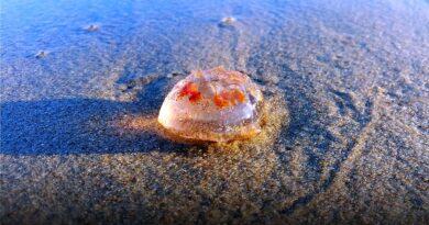 meduzy na plaży