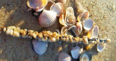 muszle na plażach bałtyku